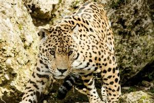 leopard-1337201_1920