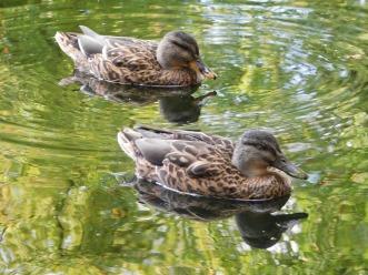 ducks-1606390_960_720