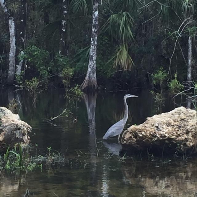 Everglades-bird